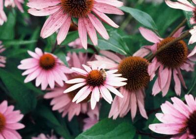 Cone-Flower with Bee _ Roberta C Scott